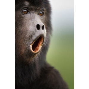 howling-monkey_1639768i